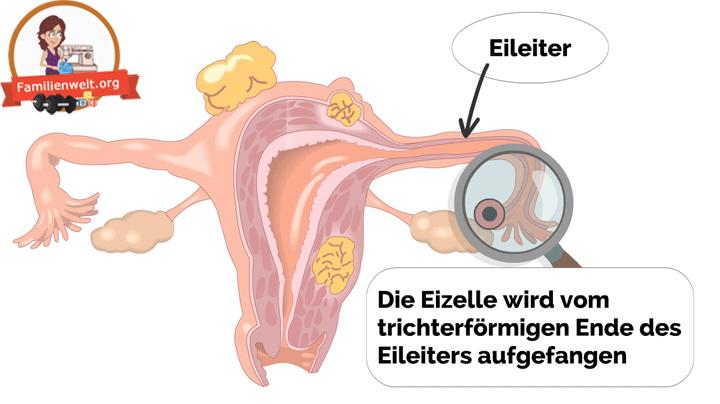 Eisprung-Ablauf-Eileiter