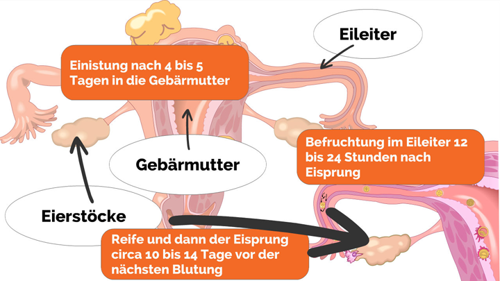 Schwangerschaftswochen-1-4-Was-passiert